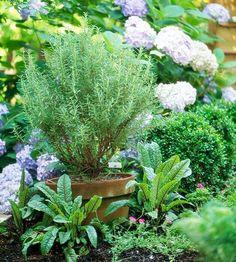 Rosemary, container garden