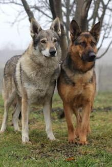 Brothers from different Breed!! http://ift.tt/2iEsUD1 via /r/dogpictures http://ift.tt/2jVYUDZ #lovabledogsaroundtheworld
