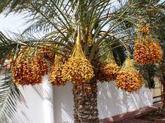Medjool Date Palm Tree Seedling Edible Fruit Phoenix dactylifera  Xeriscape