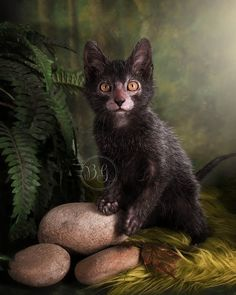 The Lykoi Cat Breed is also known as The Werewolf Cat due to its resemblance to the wild creature - referência (animais, gatos) - [post_tags Gato Lykoi, Lykoi Cat, Sphynx Cat, Cute Cats And Kittens, Cool Cats, Werewolf Cat, Chat Kawaii, Gatos Cool, Vkook Memes