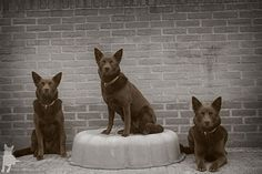 Is it just me or am I having double vision? #beestenplein #animalsquare #pets #photo #dogs #kelpie