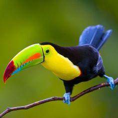 Keel-billed Toucan in Costa Rica - tucano - uccelli Tropical Birds, Exotic Birds, Colorful Birds, Colorful Animals, Pretty Birds, Beautiful Birds, Animals Beautiful, All Birds, Love Birds