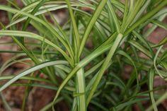 Turzyca muskegońska (Carex muskingumensis) 'Silberstreif'