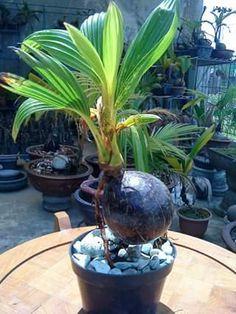 Bonsai Art, Bonsai Plants, Bonsai Garden, Cactus, Crochet Home Decor, Plant Holders, Diy And Crafts, Scenery, Coconut