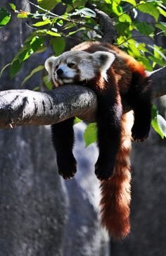 I sure hope this lazy lil Red Panda doesnt fall off of his branch!