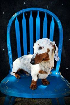 Very unique double dapple dachshund. An idea as the perfect beautiful platform for vitiligo. He's beautiful! Dachshund Funny, Dapple Dachshund, Mini Dachshund, Dachshund Puppies, Weenie Dogs, Cute Puppies, Cute Dogs, Dogs And Puppies, Doggies