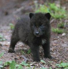 Black wolf pup.