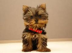 Yorkie! Does it get much cuter!! Especially teacup Yorkies!!