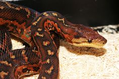 """Dominican Red Mountain Boa... I really need to stop adding things to my list of """"I want to own and breed these"""""""