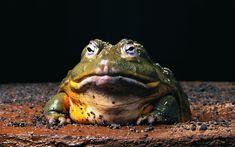 Tiere Frosch  Wallpaper