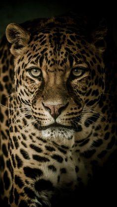 Aur kisi ke ghar me rehkar usko tiraskrit karna bhay to NAHI? Big Cats, Cats And Kittens, Cute Cats, Nature Animals, Animals And Pets, Cute Animals, Beautiful Cats, Animals Beautiful, Jaguar Animal