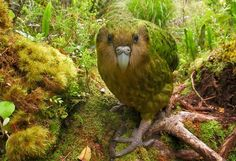"The Kakapo (Strigops habroptilus), found only in New Zealand, is the world's only flightless parrot. ( Its Latin name translates to something like ""owl-face soft-feather."" ). Image credit jidanchaomian via wired.com #Parrot #Kakapo"