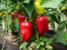 Хитрости выращивания перца