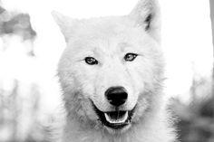 polar wolf.