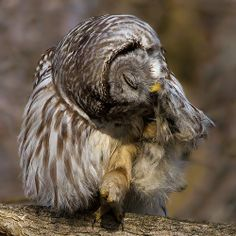 Barred owl (really it is), by Phillip Dunn | Flickr