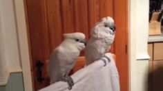The video that you're about to see is about 2 minutes and a half minutes long. To be honest, it starts out pretty slow and a little uninteresting. However, I urge you to keep watching because it gets downright hilarious towards the end. In the video, you're going to see two cockatoo's and a man with [...]