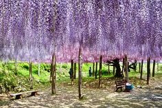 Kawachi Wisteria Garden (Kitakyushu, Fukuoka) - 河内藤園(福岡県北九州市) - 07May 2013