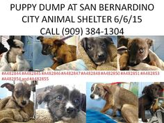 PUPPY DUMP! Backyard breeder surrendered ELEVEN puppies to City of San Bernardino Animal Control-Shelter on Saturday, June 6. https://www.facebook.com/photo.php?fbid=10205467051213268&set=a.10204273267809429.1073741949.1160364024&type=1&theater  One puppy was adopted. There are now 3 puppies listed as 8 months old, 3 puppies listed as 4 months old and 4 puppies listed as 9 weeks old. Their ID#s are:#A482844 #A482845 #A482846 #A482847 #A482848 #A482850 #A482851 #A482853 #A482854 and ##A482855