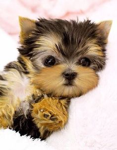 Yorkshire Terrier (Yorkie) Puppy #YorkshireTerrier