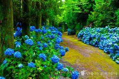 제주도 토박이가 알려주는 제주 수국명소 아홉 곳 Flower Patterns, Golf Courses, Flowers, Plants, Travel, Image, Korea, Flower Doodles, Viajes