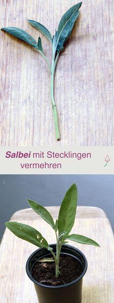Wie du Salbei im Garten ganz einfach mit Stecklingen vermehren kannst