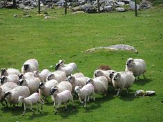 **Kissane Sheep Farm (demo on herding and sheering) - County Kerry, Ireland