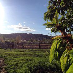 Paseando por #Covarrubias me he encontrado en el camino las #cerezas creciendo, #caballos y de fondo la #colegiata, Qué más se puede pedir?  #burgos #castillayleon #spain #hotelrural #turismorural #hotelencanto www.hoteldonasancha.es