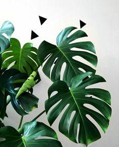 Monstera deliciosa. Houseplants. Indoor plants. Lucky plants. Plantsbank. Garden. Gardening. Ornamental plants. Biophilia