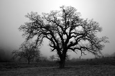 Cole Thompson Photography Tree in Rising Fog - Fort Tejon, CA - 2010 Mule Deer, The Expanse, Grass, Country Roads, Photography, Outdoor, Beautiful, Photos, Art