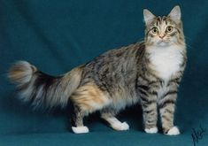 Cute Cats: Maine Coon Cats