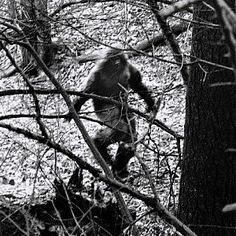Creepy noises in Oregon are being blamed on a lonely Bigfoot