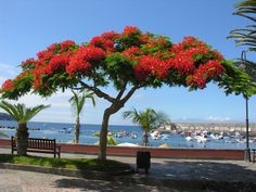 Tenerife is a blaze of colour with these Flamboyant trees, Flamboyanes, or Flame Trees - Royal Poinciana to be formal. Originally from Madagascar they are almost extinct there now so we are very fortunate to be able to enjoy them.