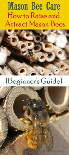 This article focuses on mason bees, closely related to the honey bees, and their amazing benefits and strengths. Know how to attract the mason bees and raise them for growth. Buzzy Bee, Carpenter Bee, Mason Bees, Garden Design Plans, Beneficial Insects, Bees Knees, Bee Keeping, Attraction, Garden Ideas