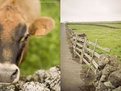 Cows!! Terceira Island, Azores - travel photography Portugal