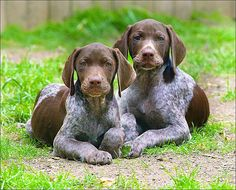 Adorable German shorthaired spaniel pups. #germanshorthairedpointerfunny