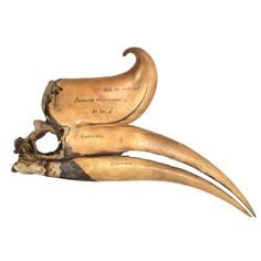British Museum - Skull of a rhinoceros hornbill, Locality unknown, around 1750