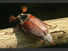Melolontha melolontha Maybug or Cockchafer, via Coleoptera Images