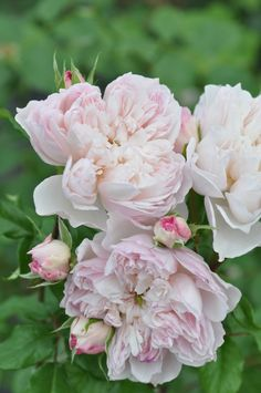 Shrub Rose: Rosa 'Cecil de Volanges' 'セシルドゥヴォーランジェ' (Japan, 2011)