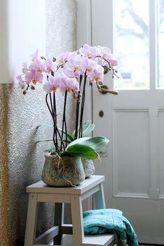 Een hal is zo opgefleurd met deze zoete orchideeën Salinas - Anthura