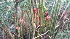 Bastão -do-imperador tulipa