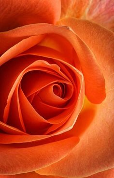 Items similar to Beautiful rose, close up photo greetings card, peach, orange, blank for own greeting - ideal for birthday or anniversary on Etsy Orange Aesthetic, Rainbow Aesthetic, Aesthetic Colors, Jaune Orange, Orange Roses, Orange Wallpaper, Orange You Glad, Orange Crush, Orange Is The New Black