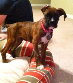 Pictures of #Boxer Dog Breed - Visit our website now!