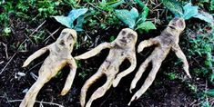 The Mandrake Root From Harry Potter Exists, And Was Allegedly Grown From The Blood Of Hanged Men Mandrake Root, Garden Sculpture, Lion Sculpture, First Humans, Dark Ages, Popular Culture, Occult, The Magicians, Inventions