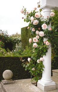 """David Austin Roses...""""A Shropshire Lad""""...This rose has cupped flowers that eventually open out into beautiful rosettes, packed with around 90 petals. The flowers are large and are gracefully poised on the branch. The color is a gorgeous, soft peachy-pink in the centre, the outer petals becoming a paler shade as the bloom ages. There is a deliciously fruity fragrance in the tea rose tradition."""