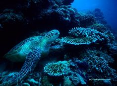 Snoozing Green Sea Turtle (Chelonia mydas) - Pulau Sipadan, Malaysia - photo by B N Sullivan for TheRightBlue.com