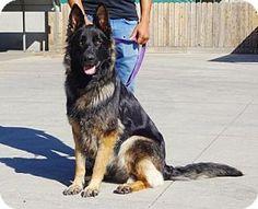 Lathrop, CA - German Shepherd Dog. Meet Shiloh, a dog for adoption. http://www.adoptapet.com/pet/16735985-lathrop-california-german-shepherd-dog
