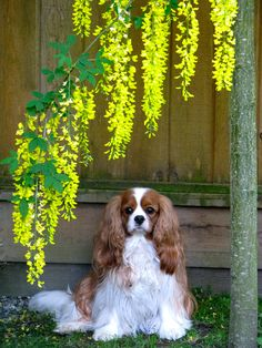 Most beautiful dog ever !! You little showstopper! #dogs #pets #CavalierKingCharlesSpaniels facebook.com/sodoggonefunny