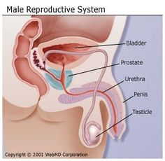 Male Reproductive System - click here to read about and view diagrams of this system.