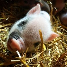 """Micro pigs on Instagram: """"🐷 💭 HI ~~~~~~~~~~~~~~~~~~~~~~~~~~~~~~~~~~~~~ Find us on Facebook - Twitter and YouTube ~~~~~~~~~~~~~~~~~~~~~~~~~~~~~~~~~~~~~ #Piggies…"""" Pug Puppies, Pugs, Cute Piglets, Small Pigs, Pig Stuff, Mini Pigs, Baby Pigs, Lovely Creatures, Make You Smile"""