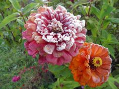 Frosted zinnias.